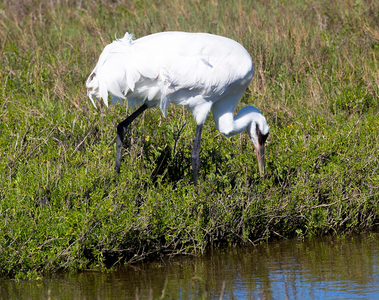 Intent Whooping Crane