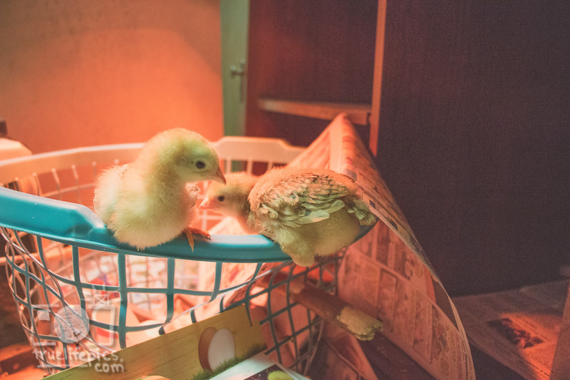 March 27, 2017 Chickens in the shop (11).jpg