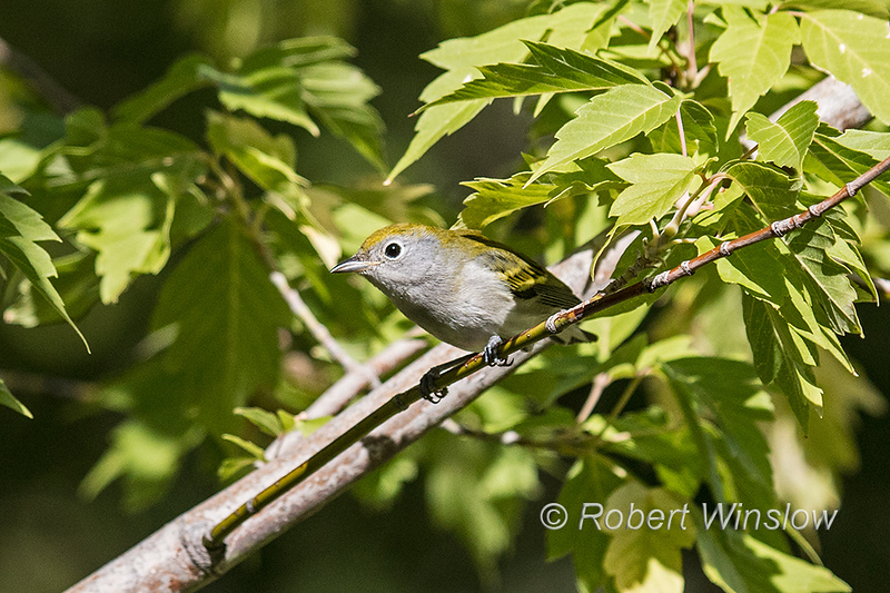 Chestnut-sided Warble, Setophaga pensylvanica, La Plata County, Colorado, USA, North America