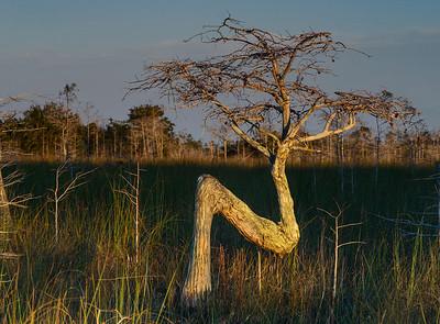 The Everglades Z Tree
