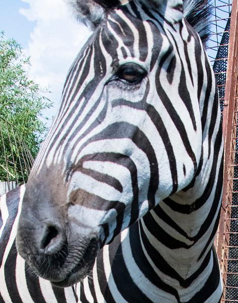 ZebrawithlinesCloseUpDSC_1802.jpg