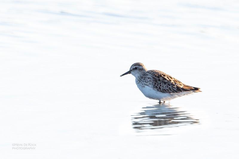 Long-toed Stint, Fullers Oval Wetlands, QLD, Aus, Feb 2019-1.jpg