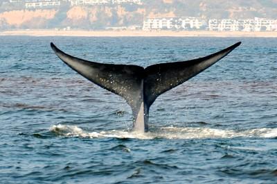 Whale Watching Dana Point Summer, 2011