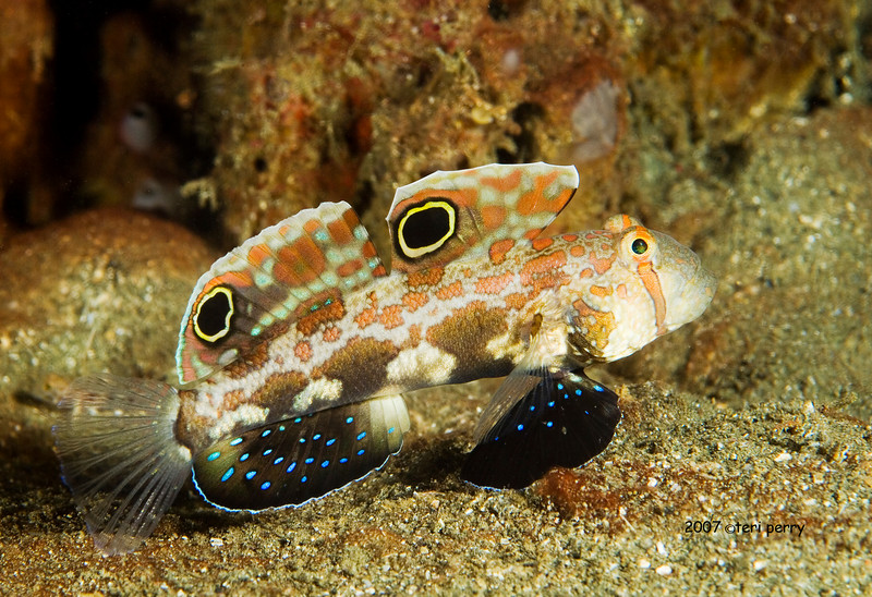 fish goby twinspot (3).jpg