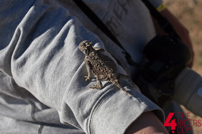 horney horned toad