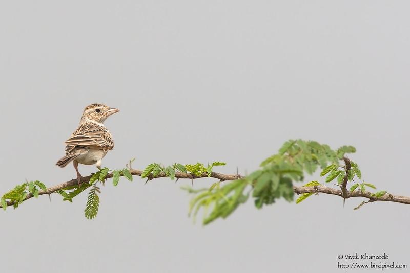 Indian Bushlark - Kutch, Gujrat, India