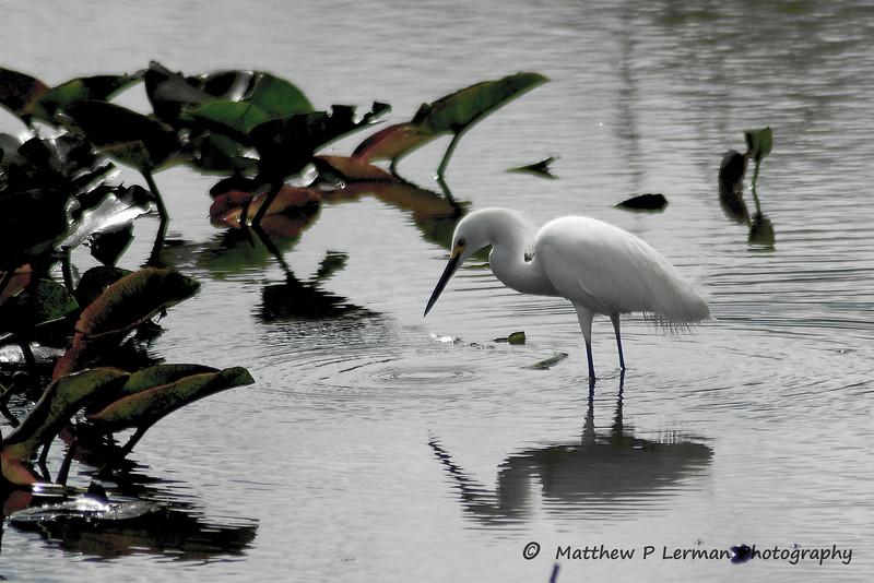 76 Bird Egret.jpg