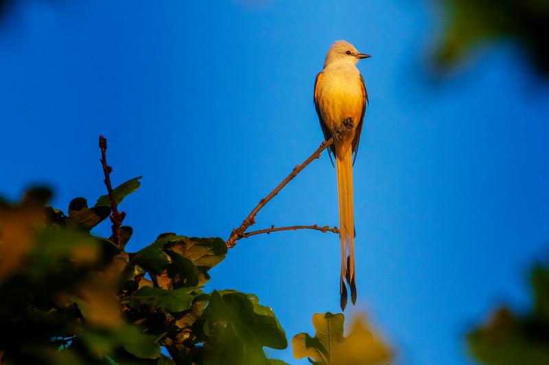 5.16.19 - Prairie Creek Marina: Scissor-tailed Flycatcher