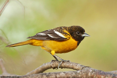 Warblers, Orioles and Tanagers