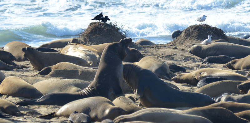 ano-nuevo-elephant-seals-2013 36.jpg