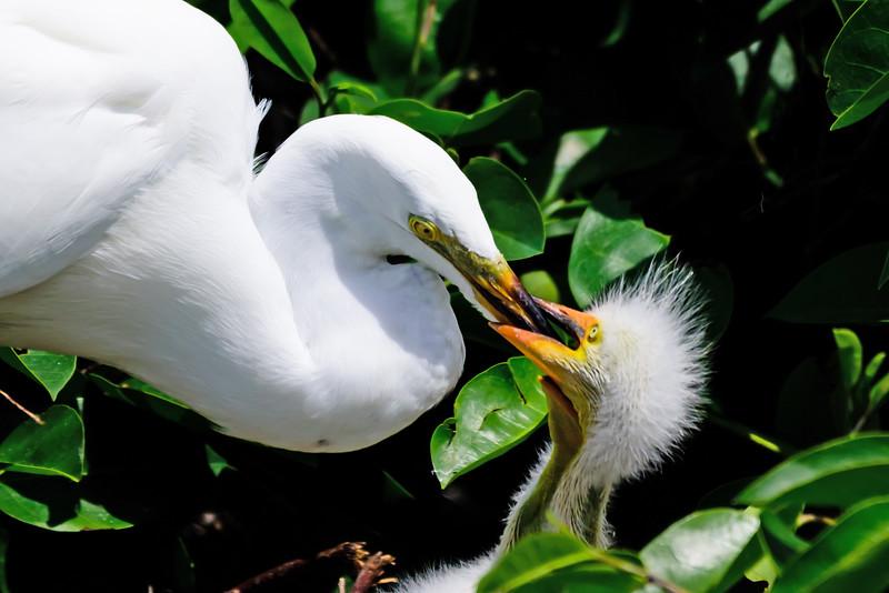 Great Egret Chick Feeding