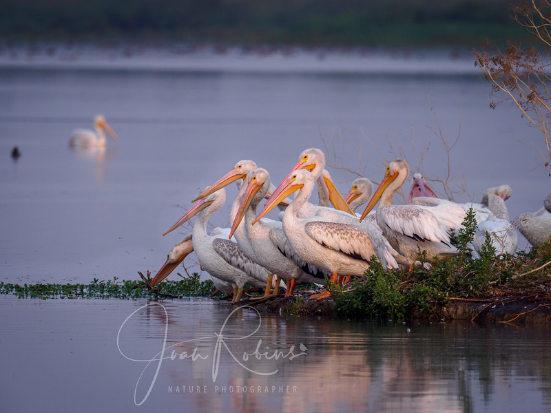 Young Pelicans preparing to glide
