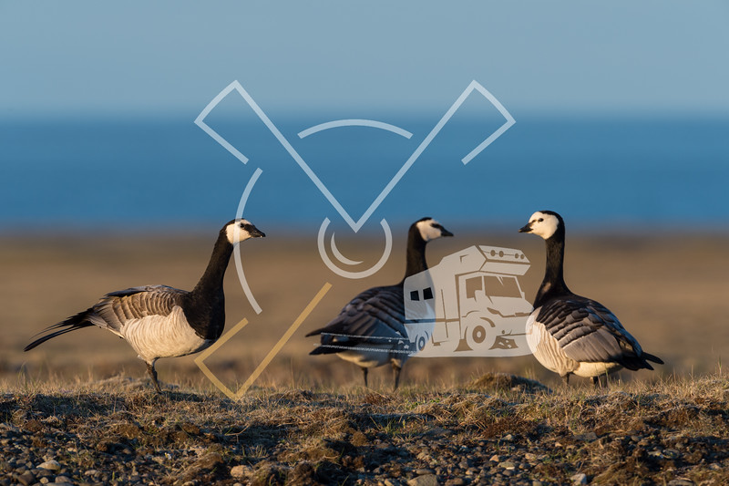 Barnacle geese in beautiful light in Icelandic summer landscape.