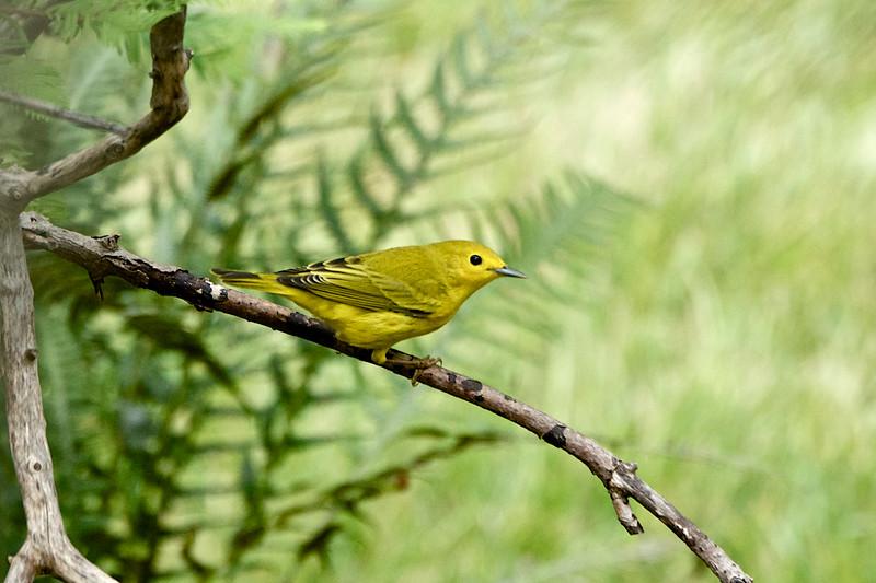 Yellow Warbler 2 - Version 2.jpg