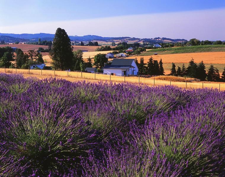 Yamhill lavender sf.jpg