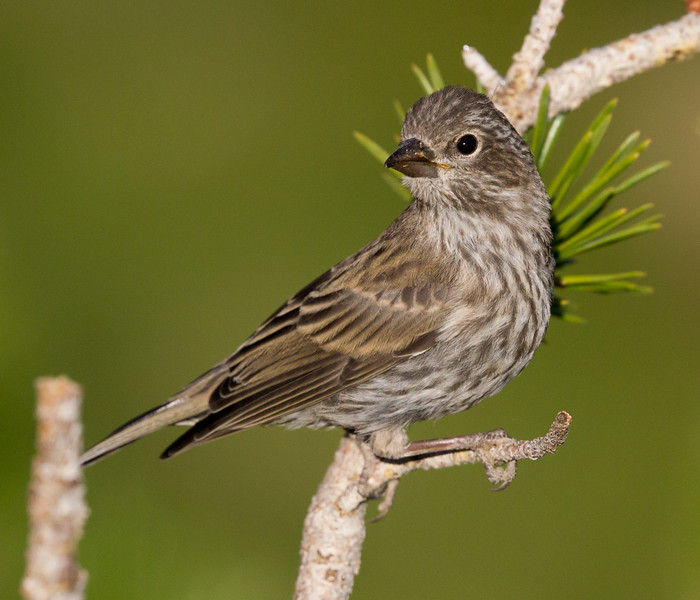 Cassin`s Finch  Mammoth Lakes 2016 08 20-1.CR2