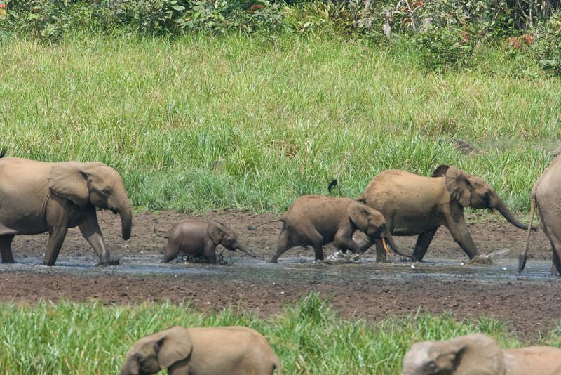Elephants splashing through the mud puddle at Langoue Bai.