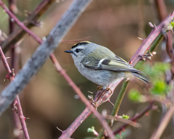 Old World Warblers, Thrushes, and Their Allies