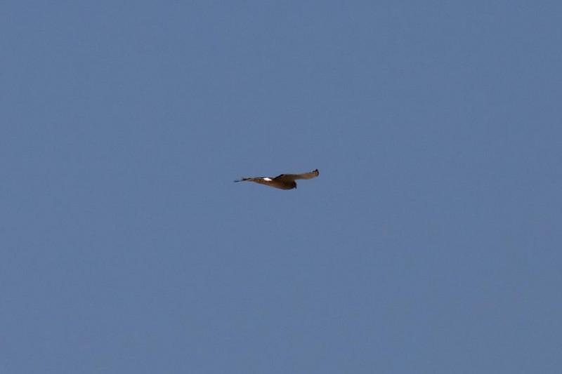 Cinereous Harrier at Huacarpay Lakes, Peru (2008-07-04).psd