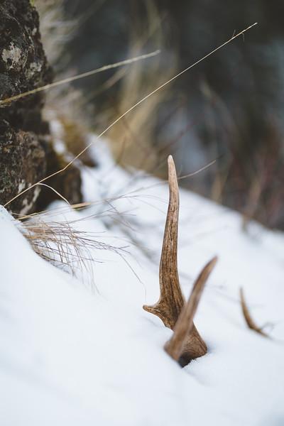 Fresh elk shed WA state on public land. April 2018. Matching antler in previous shot.