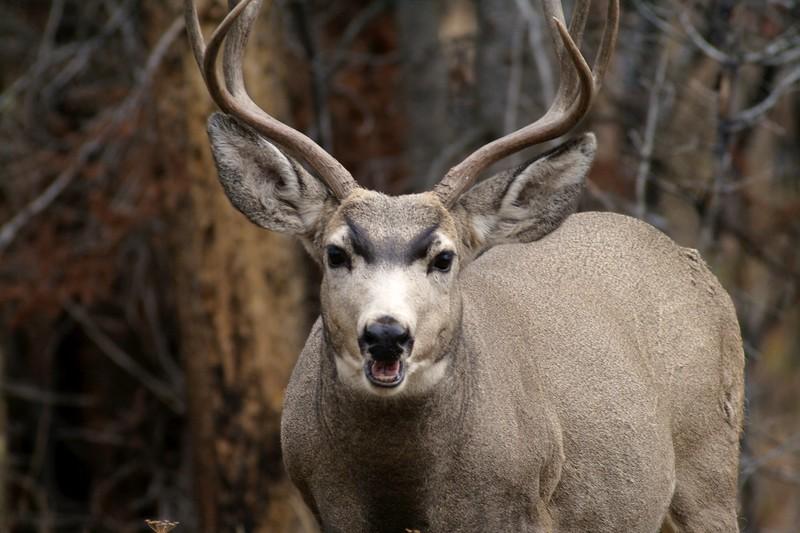 Mule Deer buck Yellowstone _MG_3941.jpg