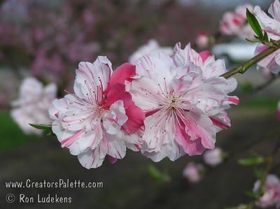 Flowering Peaches