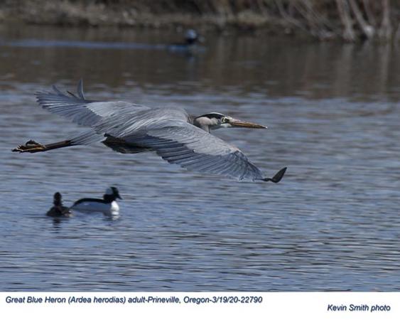 Great Blue Heron A22790.jpg