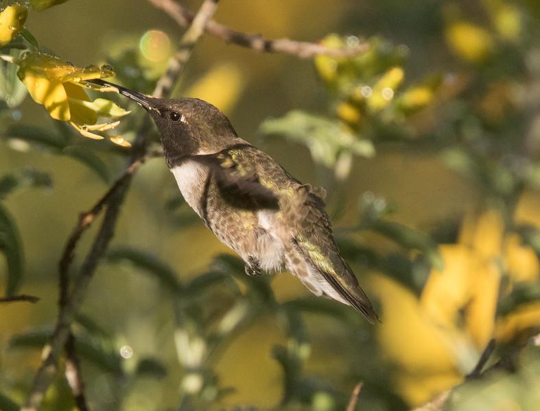 Black-chinned Hummingbird Penesquitos Canyon 2019 04 06-2.CR2