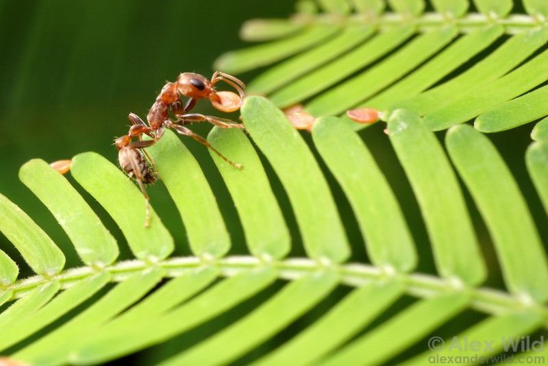 A Pseudomyrmex spinicola worker ant harvests Beltian bodies on an Acacia tree. These bodies form the primary food source for the ants' larvae. 