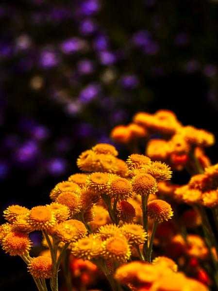 Golden Buttons, U. C. Santa Cruz Arboretum, California, 2010
