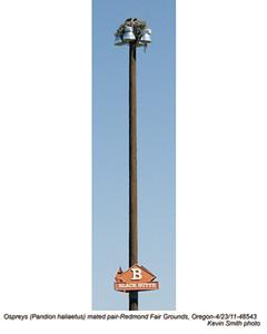 OspreysP48543.jpg