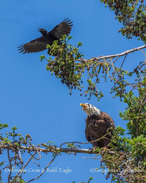 _DSC3568Croe & Eagle.jpg