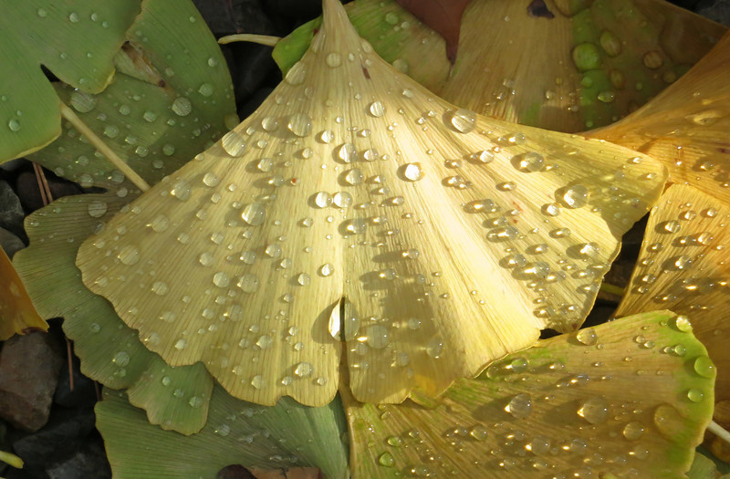 After the rain, a ginkgo leaf in fall