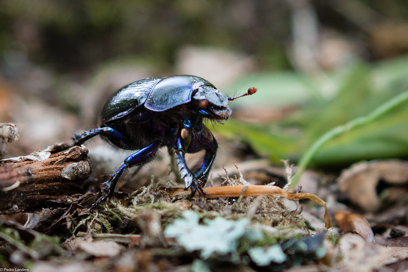 Dor Beetle on the Move