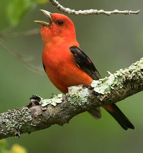 Buntings, Chickadees, Tanagers, Wrens, Grosbeaks, Bluebirds, Grosbeaks, Flycatchers, Sparrows & Woodpeckers