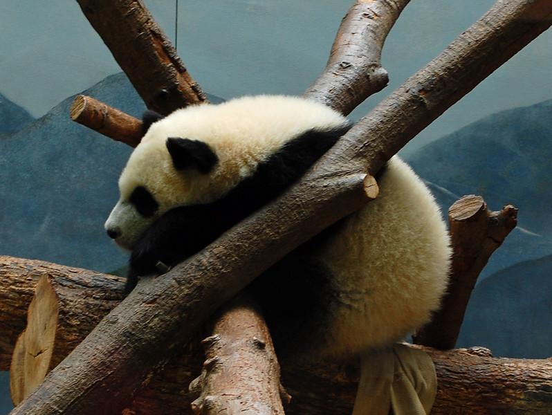 Pandasleep.jpg
