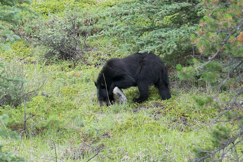 Black bear near the road just south of Jasper.
