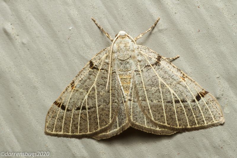 Pale-veined Isturgia Moth, Isturgia dislocaria (Geometridae).