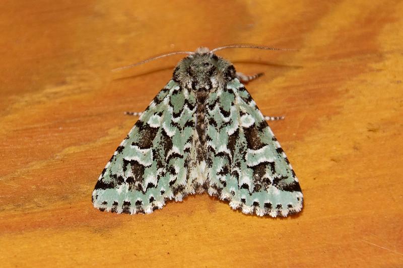 Sallow-Comstock's-(Feralia comstocki)-(maybe)-Dunning Lake-Itasca County, MN