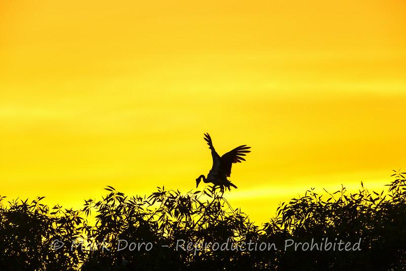 Magpie Goose, Yellow Water Billabong, Kakadu, Northern Territory