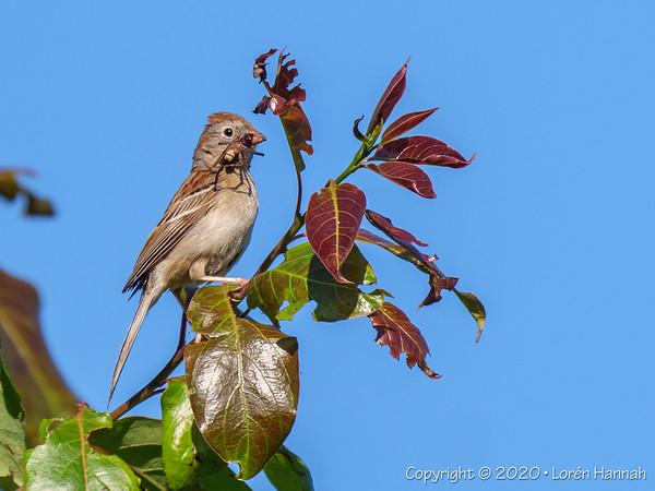 Warhawk Airfield, Hillsborough, NC - 2020 NC Pandemic Birding
