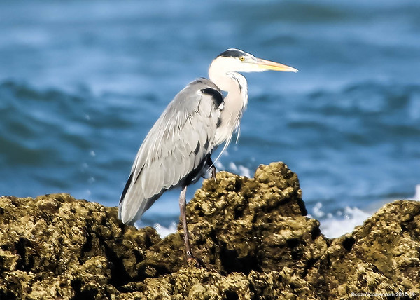 Herons in The Gambia 2016 - Set 2