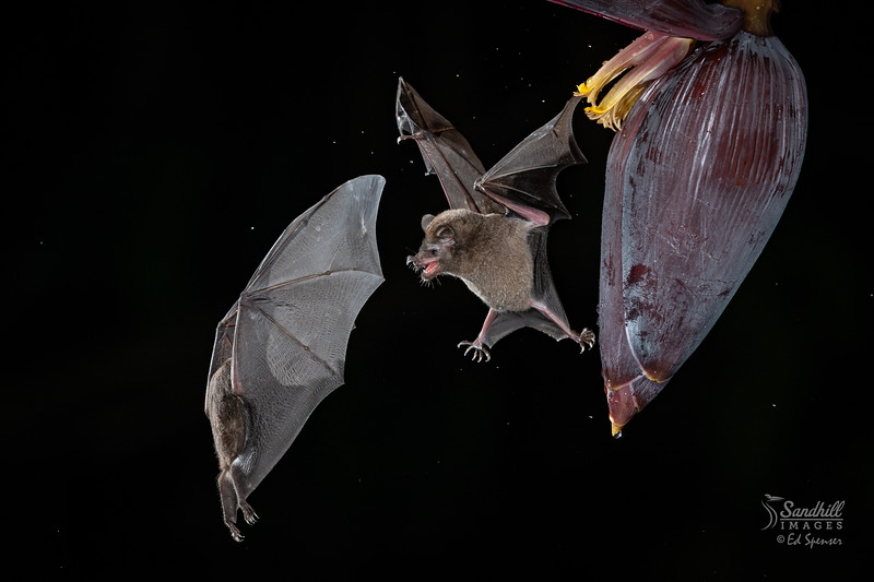 Protective Fruit bat on banana flower