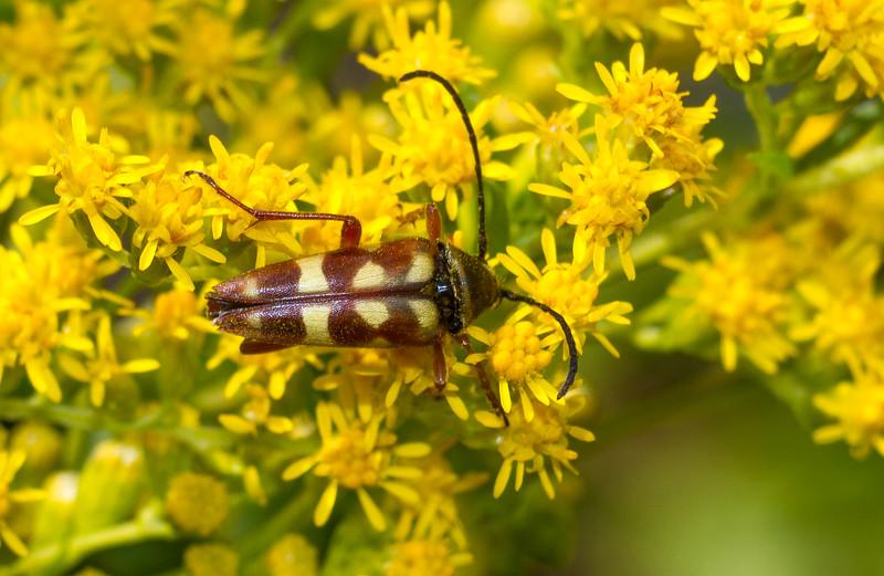 Typocerus velutinus flower longhorn beetle Gray Jay Way Sax-Zim Bog MN IMG_4367.jpg