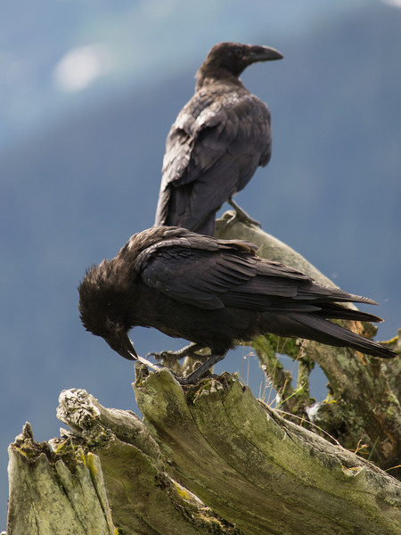 A Raven plays with a stick in found (or previously stored) in the tree.