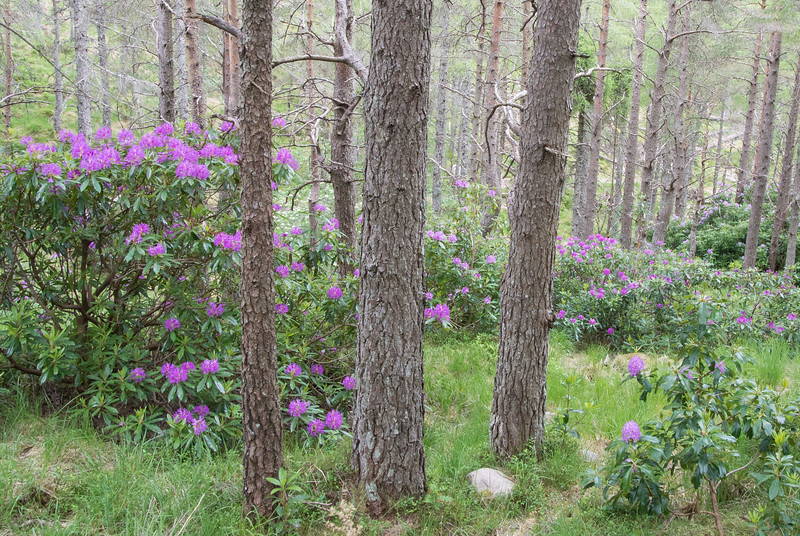 Now only 400 feet above sea level.  Rhodies were everywhere.