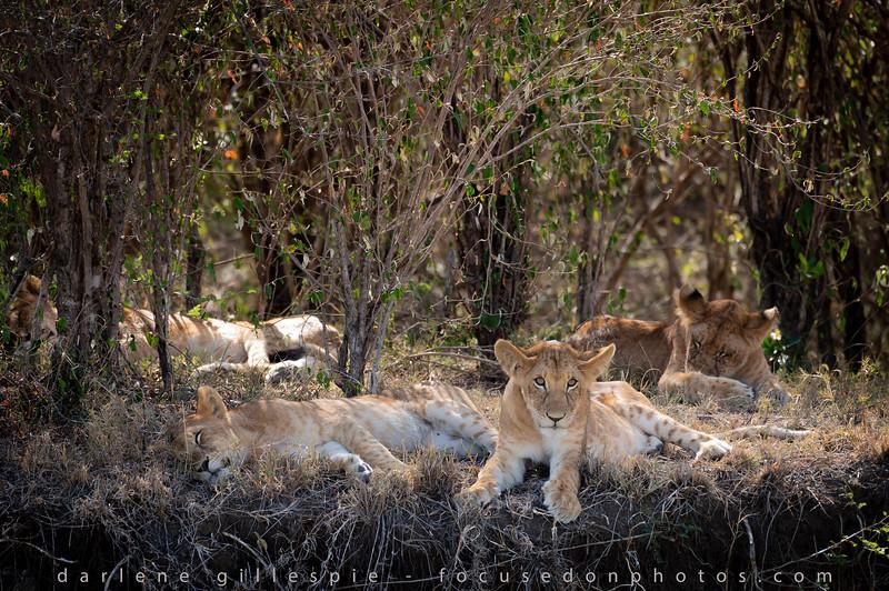 Lions on a Ledge.jpg