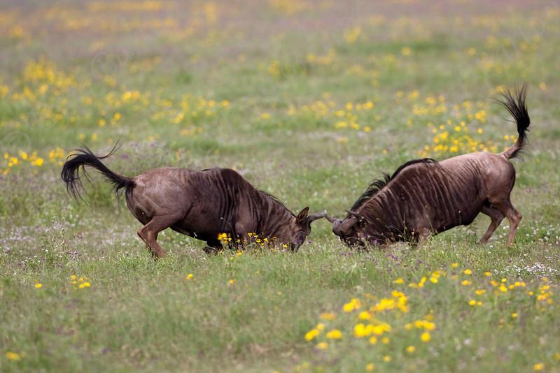 IMG_6504 Wildebeest.jpg