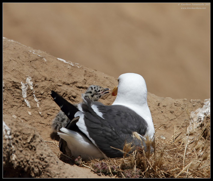 Western Gull sitting on the nest with an active chick, La Jolla Cove, San Diego County, California, June 2011