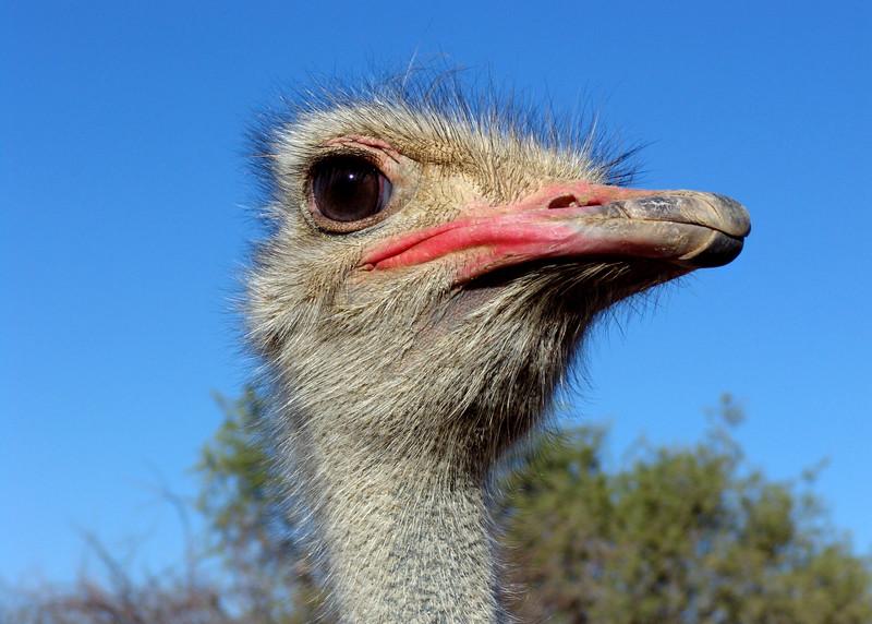 OSTRICH - NAMIBIA